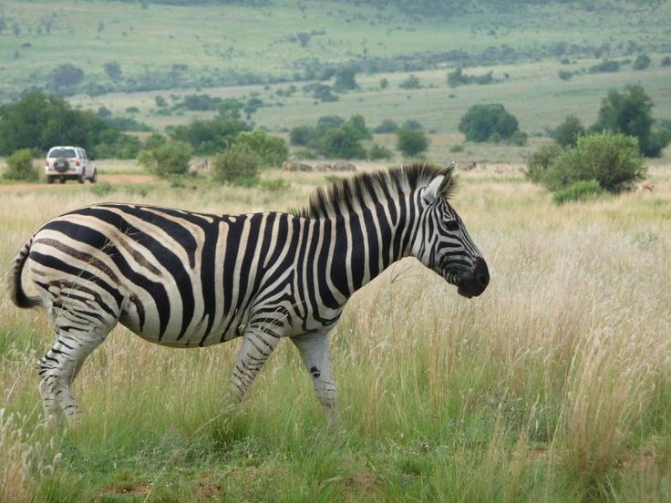 Zebra, Pilanesberg National Park, South Africa