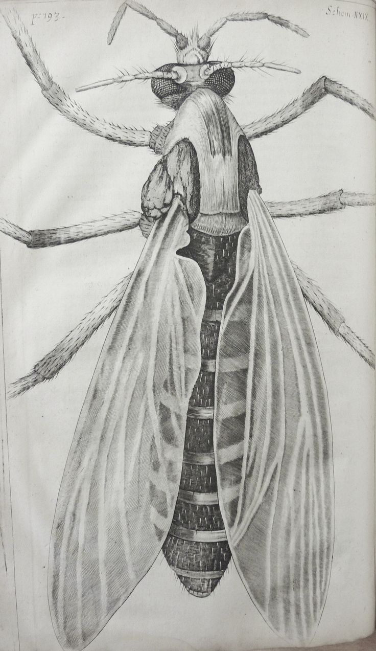 Robert Hooke, from Micrographia, published in 1665