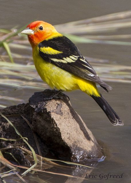 My husband enjoyed watching a Western Tanager bathe in our bird bath the other day. Unfortunately I missed it! They're such a colorful bird- beautiful... May 2014