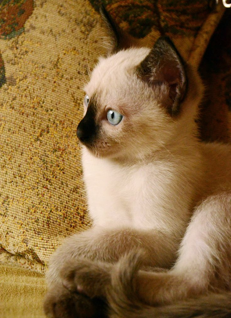 siyam kedi yavrusu