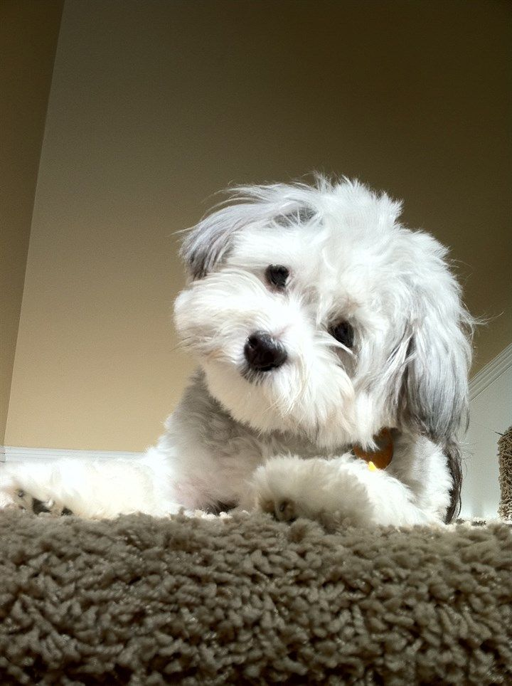 Shoodle I Love Him Puppies