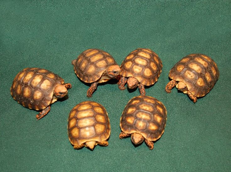 Bolivian Cherry Headed Red Footed Tortoises Red footed