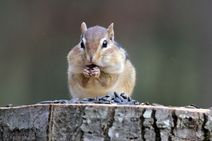 How to get rid of chipmunks hunker get rid of