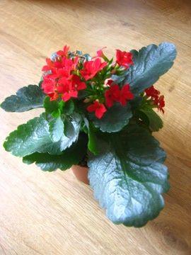 Kalanchoe, żyworódka łac. Kalanchoe ang. Kalanchoe, uprawa kalanchoe, uprawa żyworódki, sukulent, rośliny do domu, rośliny doniczkowe, rośliny pokojowe, rośliny kwitnące zimą,opis rośliny