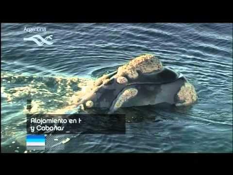avistaje de ballenas - peninsula valdes chubut -  argentina
