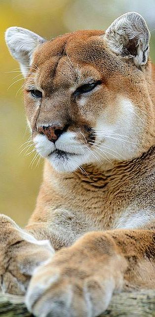 Cougar Looking Serious #by Eric Kilby #wildlife wilderness animal nature amazing