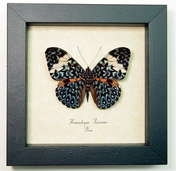 Real Framed Blue Hamadryas Paisely Butterfly by REALBUTTERFLYGIFTS