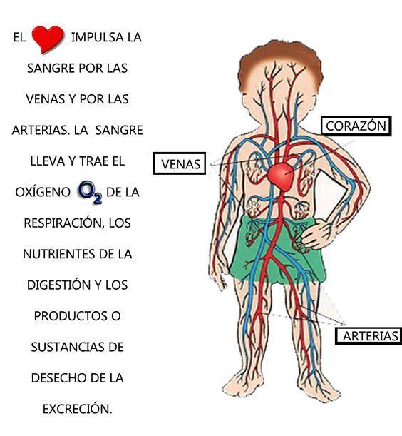 sistema circulatorio humano para niños - Buscar con Google: