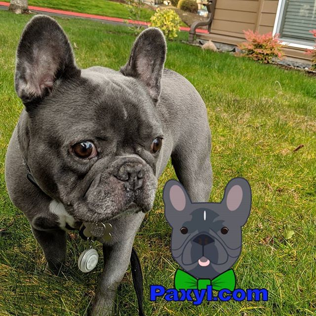 Love The Outdoors Optoutside Outdoors Frenchiesofinstagram Frenchie Puppy Dog Aww Pdx Ore French Bulldog Puppies Bulldog Puppies French Bulldog Blue