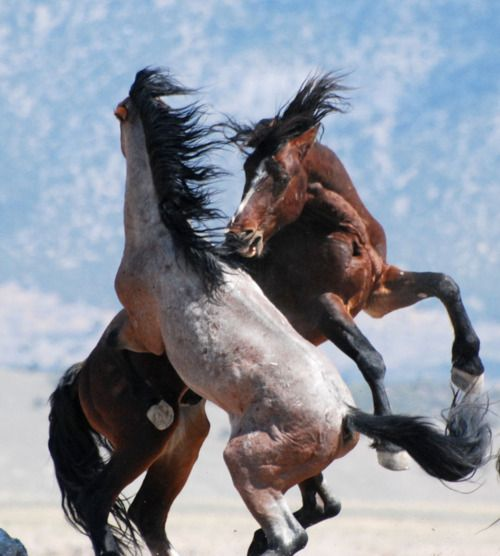Stallions fight for the lead: Beautiful Horses, Animals, Equine, Horse Fight, Mustang Stallions, Photo, Wild Mustangs, Wild Horses