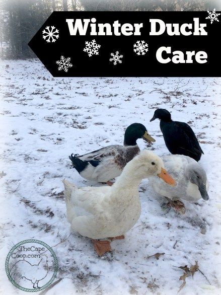 Winter Duck Care - The Cape Coop