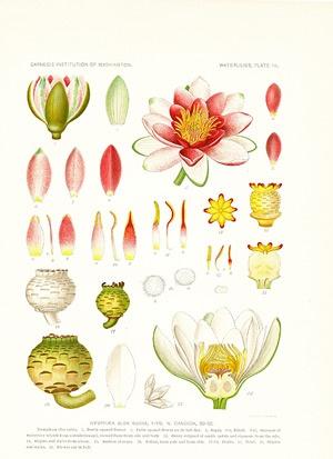 Nymphaea flower diagram search for wiring diagrams nymphaea alba rubra apothacary pinterest plants rh pinterest co uk lotus flower morus flower mightylinksfo