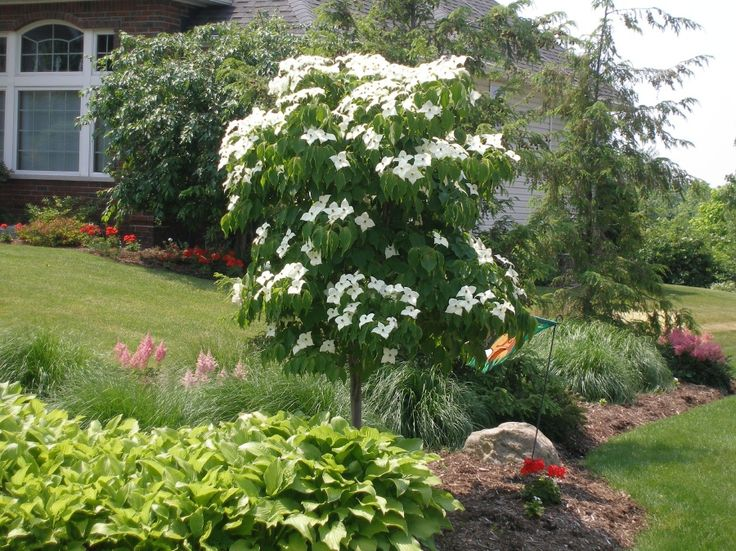 Deer won't like this tree, but birds certainly will…and so will you! The Kousa Dogwood is a deciduous tree with a specialized leaf system. (Hardy in zones 5-9, easy to care for, edible fruit, and a unique display)