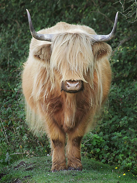 Highland Cattle by Captain Tweaky - via Flickr
