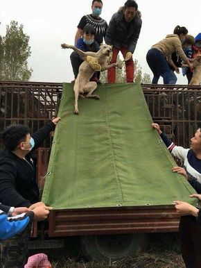 """Chinese Activists helping to free dogs that are on their way to slaughter."""