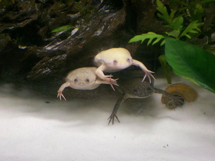 88 best african clawed frogs images on pinterest for Fish tank frogs