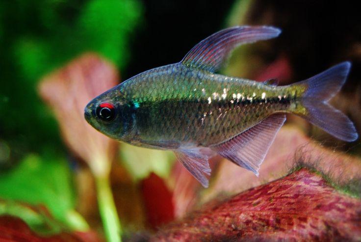 Tetra Fish Gallery   Planted Tank Gallery - Diamond Tetra
