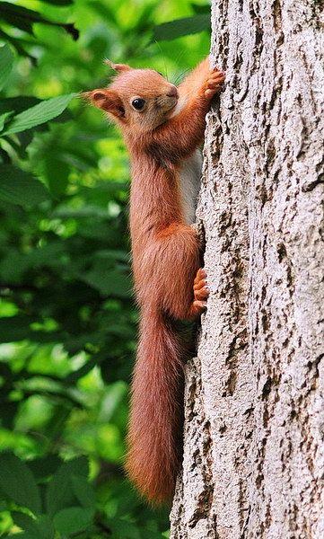 Eichhörnchen 01 Red squirrel.   natur-lexikon.com