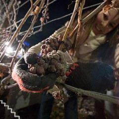 German Wine Pincess Christina Schneider harvests frozen Silvaner grapes for this year's Eiswein