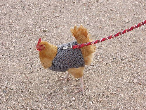 Homemade Large Chicken/Fowl Harness for walking on a leash. NICE!!!!!