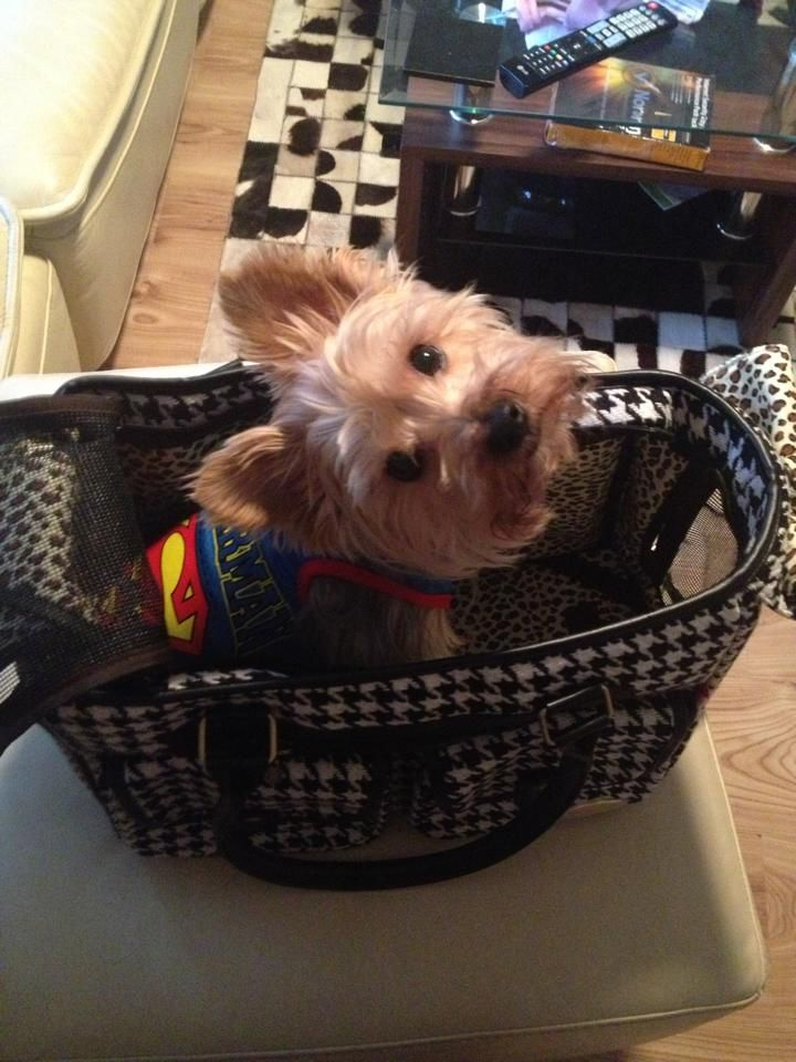 1000 Images About Yippee For Yorkies On Pinterest Pets