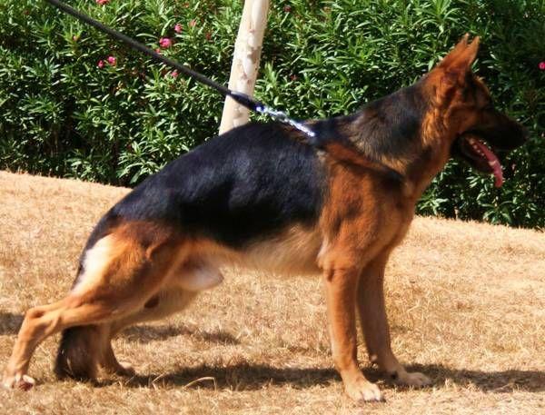 Очень Похудела Немецкая Овчарка. Почему собака худая: причины, что делать, как вылечить животное?