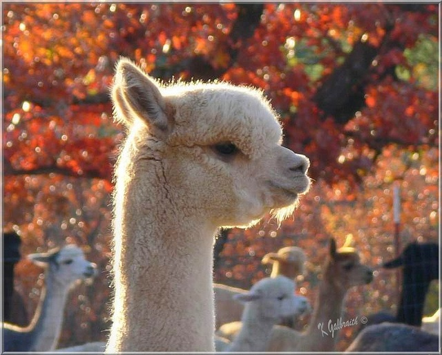 1000+ Images About Baby Alpacas On Pinterest