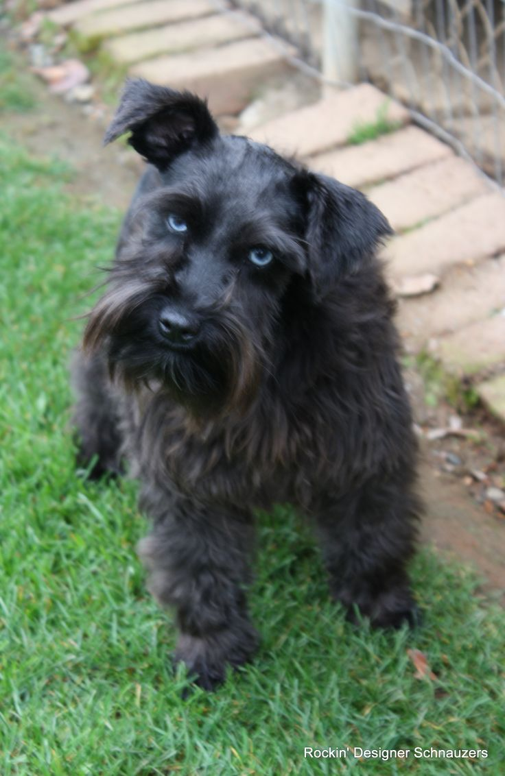 1000 Images About Akc Mini Schnauzer Male With 1 Blue Eye