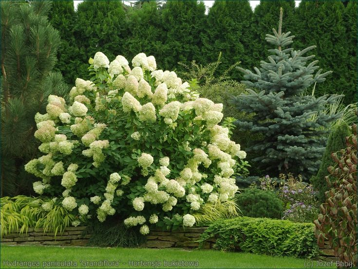 25 unique hydrangea paniculata grandiflora ideas on. Black Bedroom Furniture Sets. Home Design Ideas