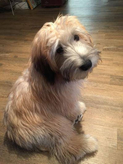 wheaten terrier mix