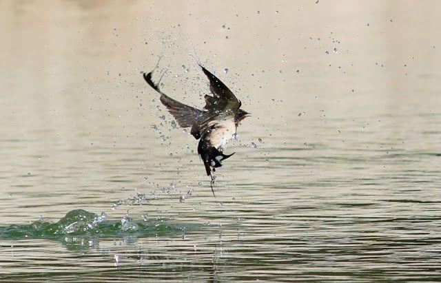 NAŠE LÁSKY: Ptáci na zahradě. Vlaštovka se koupe v letu...tak ...