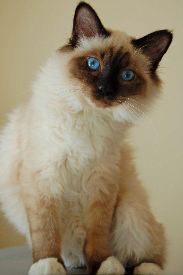 chat sacré de birmanie
