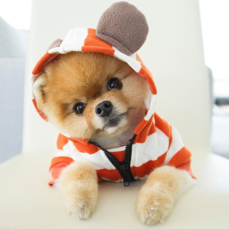 Best Jiffpom Images On Pinterest Baby Animals Adorable - Jiff the pomeranian is easily the best dressed model on instagram