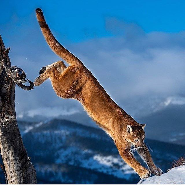 "wild live planet (@wildliveplanet) on Instagram: ""Mountain Lion/ Puma Photo by @suhaderbent #wildliveplanet"""