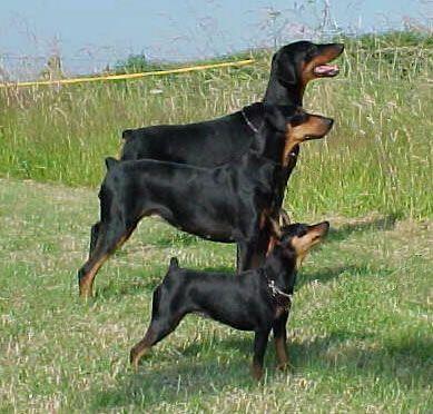Dobermanlar 1860'lı yıllardan itibaren Almanya'da Beauceron, Rottweiler, İngiliz Tazısı  cinsi köpeklerden Alman Pinschers geliştirilmiş olunması muhtemeldir. Doberman türünü geliştiren kişinin bir vergi tahsildarı olan Louis Doberman olduğu ve adını bu kişiden aldığı bilinmektedir. O yıllardan itibaren polis ve bekçi köpeği olarak kullanılmaktadır.