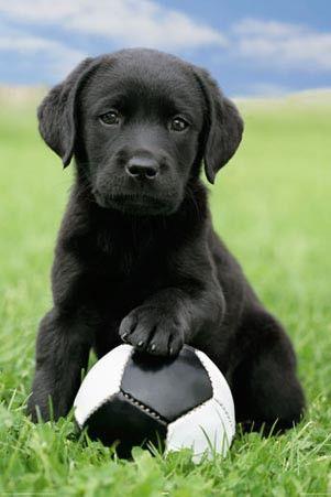schwarzer Labrador Welpe Fußball