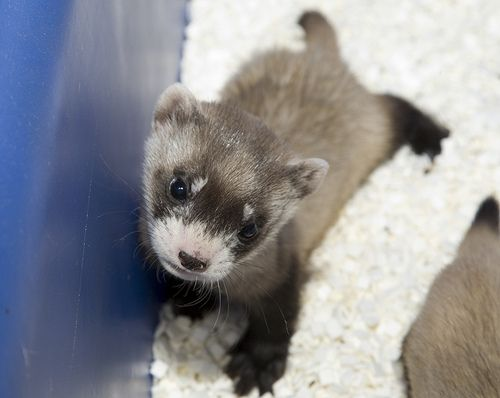 This is my first time to see a baby ferret, and he's so cute!  He looks like a little raccoon.