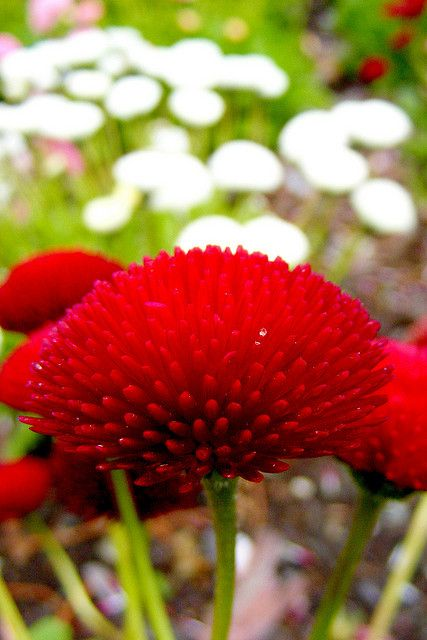 Red flower,  Queenstown Botanic Gardens, Queenstown, New Zealand