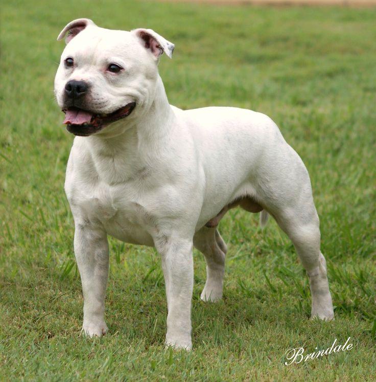 Staffordshire bull terrier  é uma raça de cão oriunda dos cruzamentos entre buldogues e alguns terriers realizados no século XVIII, no C...