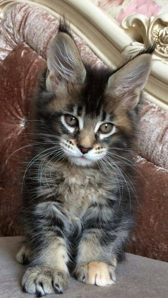 Available Female F 25 Bluemistwild B Best Lola Mainelynx Leandro 02 11 17 Hcm N N Cats Maine Coon Kittens Maine Coon Cats Cats