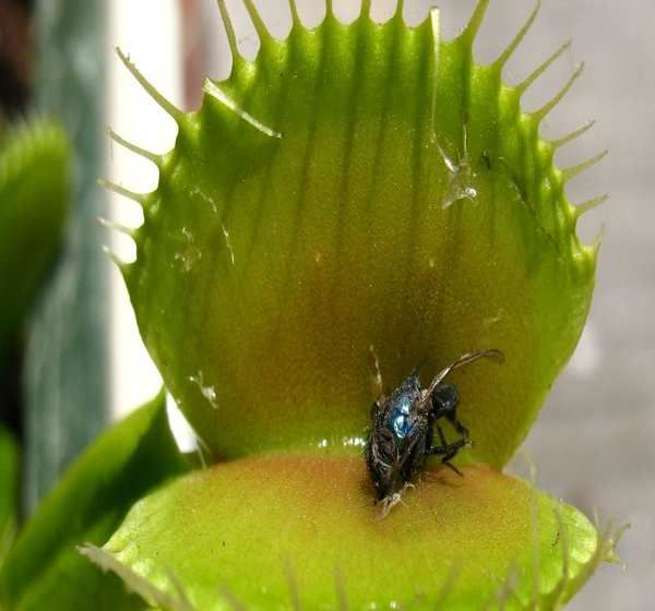 Las plantas carnívoras saben contar, y lo usan para atrapar a sus presas