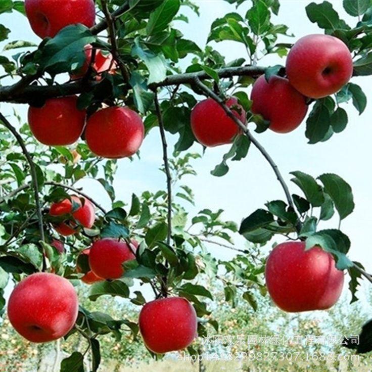 Aliexpress.com: Compre Apple red apple fruit amor carne vermelha, vasos de sementes de árvores de fruto pode ser plantadas 50 árvores de fruto Sementes/Pack ...