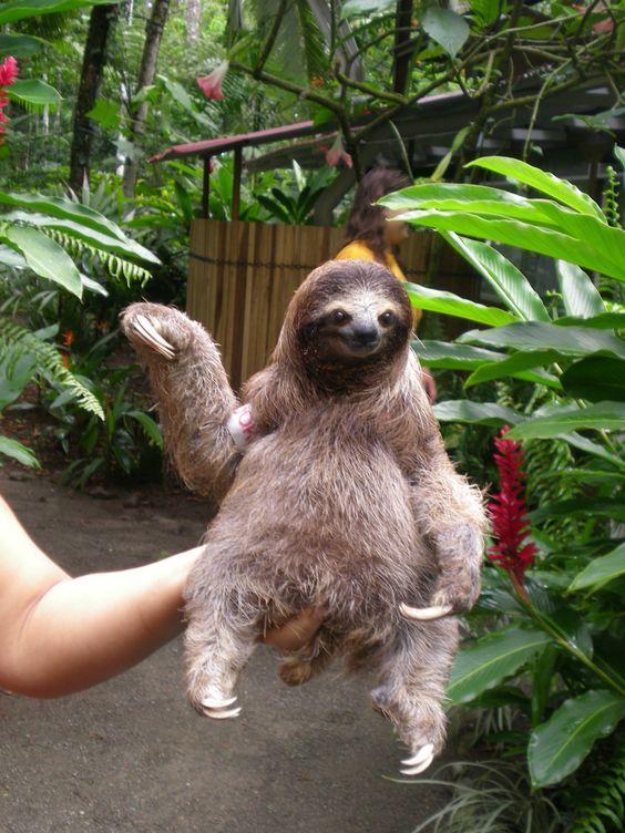 Yavru Tembel hayvan (Sloth)