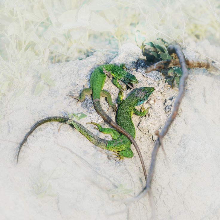 Семейная жизнь ящериц :) . / love, lizards /