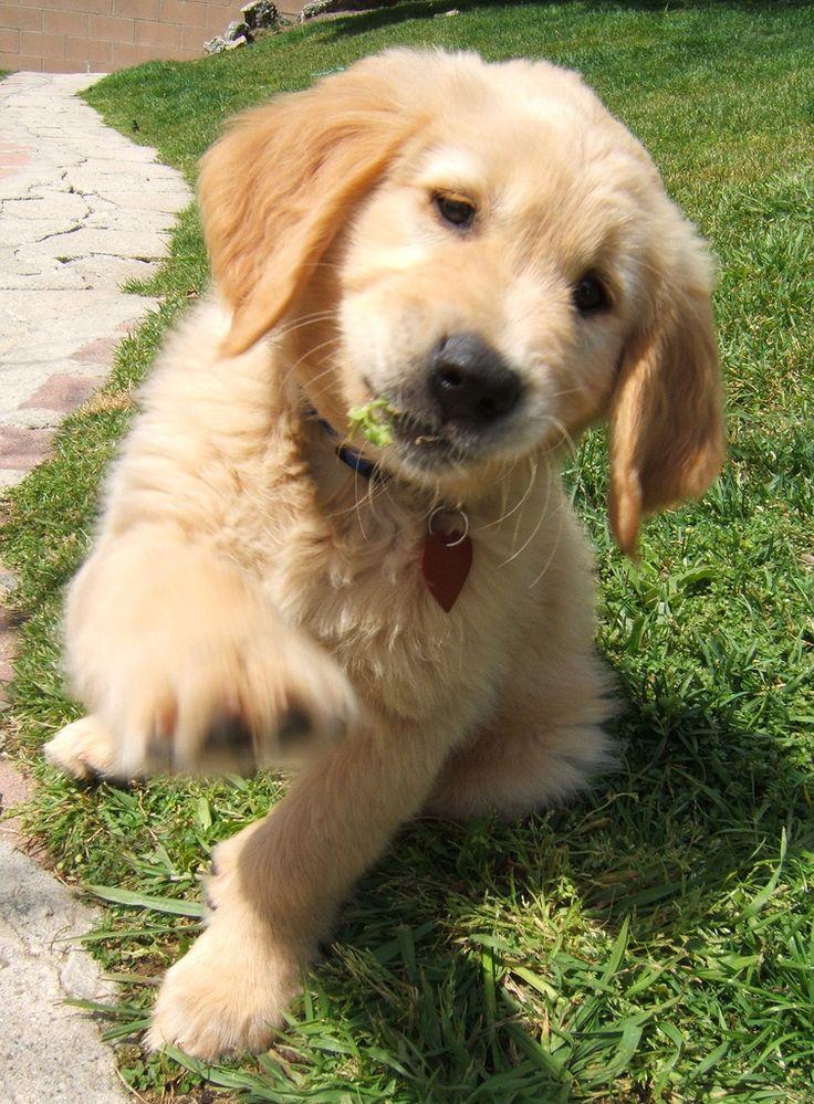 Golden Retriever puppy saying Hi!
