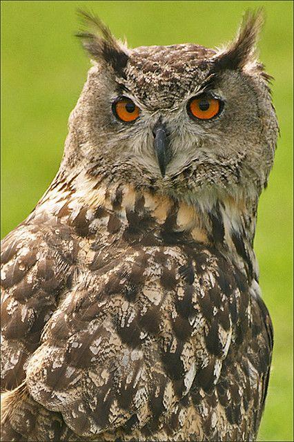 c~~Eurasian Eagle Owl (bubo bubo) by Foto Martien~~