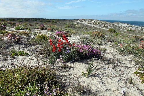 Flowers on coastal dunes, Namaqualand