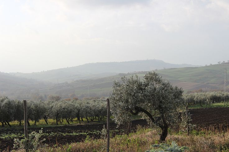 Help small-scale olive oil producers getting squeezed out of the market by the big boys by adopting an olive tree.
