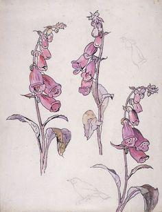 beatrix potter drawings | Beatrix Potter Botanical Paintings | shelleysdavies.com