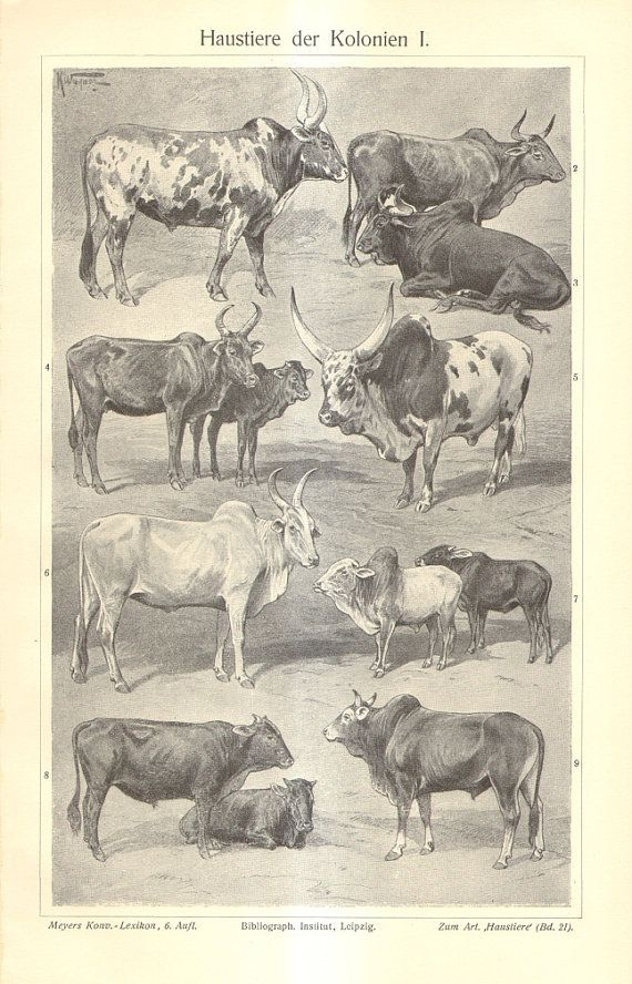 1904 Antique Print of Domesticated Animals in Africa and Asia, Ox, Cow, Bull, Zebu, Pony, Zebroid, Donkey, Ram, Goat, Fat-tailed Sheep